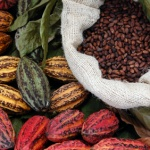 Cacao superfood: the raw beans