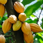 Cocoa: superfood of the Amazon